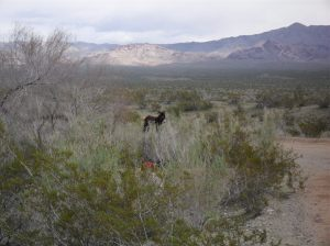 Wild donkey at Lake Mohave.